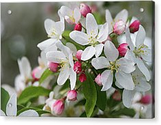 Crabapple Blossoms 12 - Acrylic Print