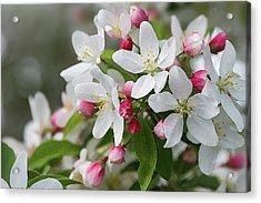 Crabapple Blossoms 12 - Acrylic Print