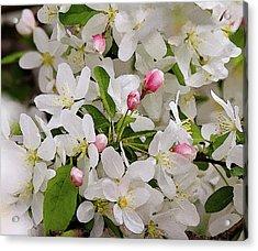 Crabapple Blossoms 5 Acrylic Print