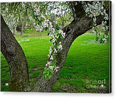 Crabapple Blossoms On A Rainy Spring Day Acrylic Print