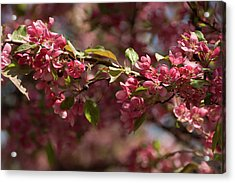 Crabapple In Spring Section 3 Of 4 Acrylic Print