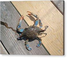 Crabby Blue Acrylic Print by Beth Akerman