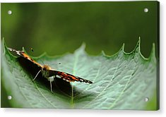 Acrylic Print featuring the photograph Cradled Painted Lady by Debbie Oppermann