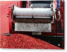 Cranberry Harvest Acrylic Print