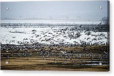 Acrylic Print featuring the photograph Crane Dance by Torbjorn Swenelius