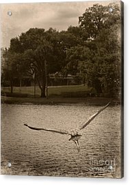Crane In Flight Acrylic Print