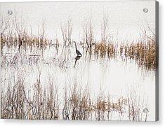 Crane In Reeds Acrylic Print