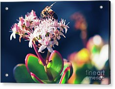 Acrylic Print featuring the photograph Crassula Ovata Flowers And Honey Bee by Sharon Mau