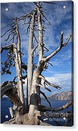 Crater Lake Tree Acrylic Print by Carol Groenen
