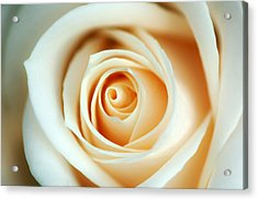 Creme Rose Acrylic Print by Mandy Wiltse