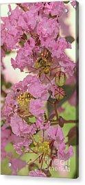 Crepe Myrtle And Bee Acrylic Print by Olga Hamilton