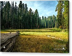Crescent Meadows Sequoia Np Acrylic Print by Daniel Heine