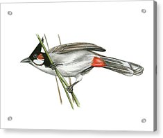 Crested Bulbul Acrylic Print by Lionel Portier