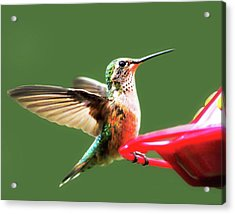 Crested Butte Hummingbird Acrylic Print