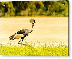 Crested Crane Acrylic Print