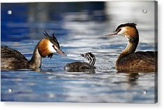 Crested Grebe, Podiceps Cristatus, Ducks Family Acrylic Print