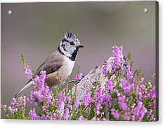 Crested Tit In Heather Acrylic Print