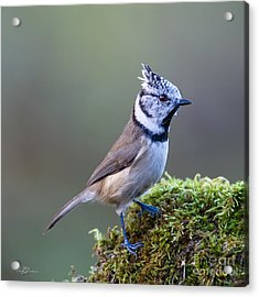 Crested Tit Acrylic Print