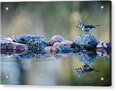 Crested Tit's Reflection Acrylic Print