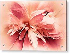 Crimson Ballet Powder Puff Acrylic Print