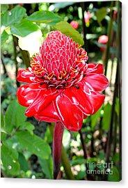 Crimson Bloom Acrylic Print