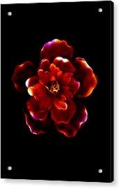 Crimson Bloom Acrylic Print by Dolly Mohr