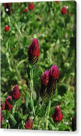 Crimson Clover Acrylic Print by Robyn Stacey