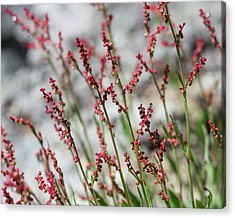 Crimson Field Acrylic Print