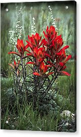 Crimson Red Indian Paintbrush Acrylic Print