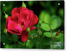 Acrylic Print featuring the photograph Crimson Red Rose By Kaye Menner by Kaye Menner