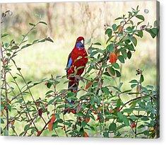 Crimson Rosella 3 - Canberra - Australia Acrylic Print by Steven Ralser