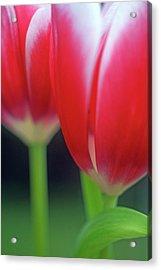 Crimson Tulips Acrylic Print by Kathy Yates