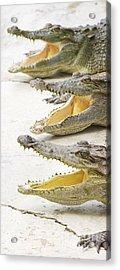 Crocodile Choir Acrylic Print by Jorgo Photography - Wall Art Gallery