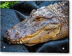 Crocodile Portrait Acrylic Print