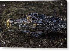 Crocodile Reflections Acrylic Print