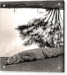 Crocodile Resting Time Acrylic Print by Arik Baltinester