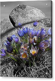 Crocus - Between A Rock And You Acrylic Print by Stuart Turnbull