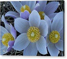 Crocus Blossoms Acrylic Print