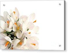 Crocus Acrylic Print