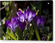 Crocus Carnival Acrylic Print by Shawn Young