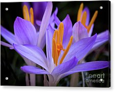 Acrylic Print featuring the photograph Crocus Explosion by Douglas Stucky