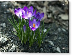 Acrylic Print featuring the photograph Crocus In Bloom #2 by Jeff Severson