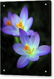 Acrylic Print featuring the photograph Crocus In Bloom by Jessica Jenney