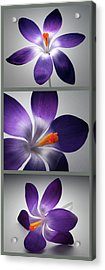 Crocus Triptych. Acrylic Print by Terence Davis