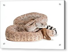 Crotalus Atrox Acrylic Print by Thor Hakonsen