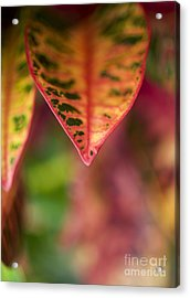 Croton Leaf Macro II Acrylic Print