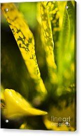 Croton Macro IIi Acrylic Print