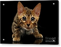 Crouching Bengal Kitty On Black  Acrylic Print by Sergey Taran