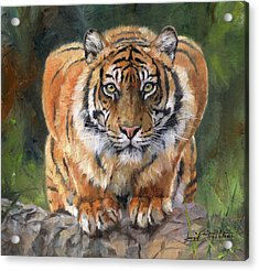 Crouching Tiger Acrylic Print by David Stribbling