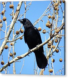 Crow In The Sycamore Tree.  The Sun Acrylic Print